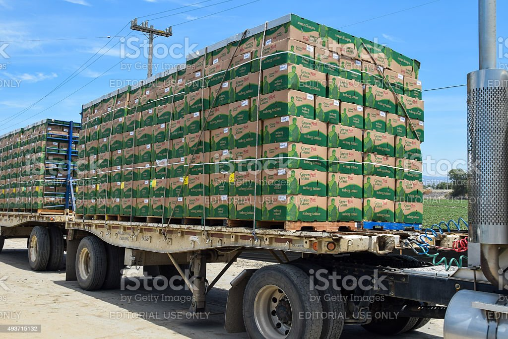 Iceberg Lettuce is readied for shipping. stock photo