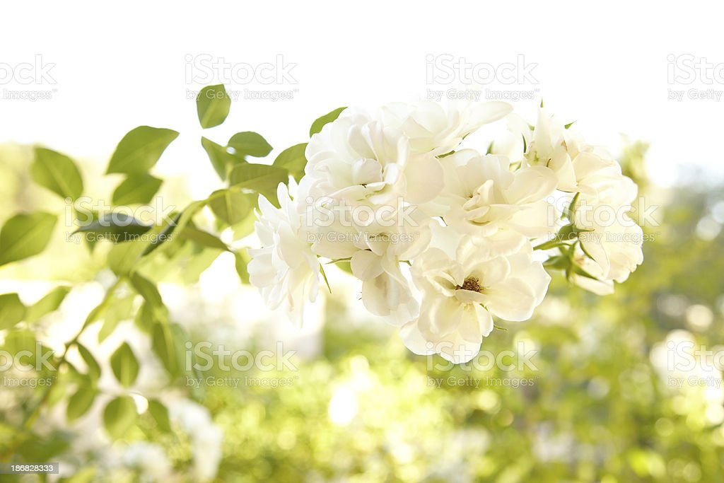Iceberg White Rose Bush stock photo