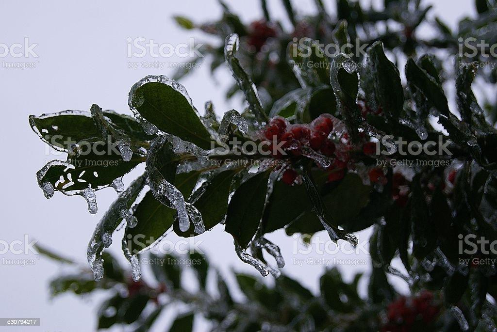 Icebound Bush royalty-free stock photo