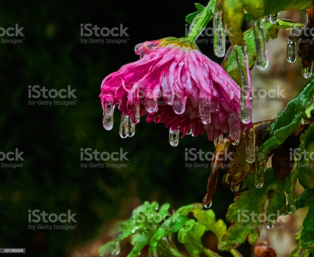 iced flower royalty-free stock photo