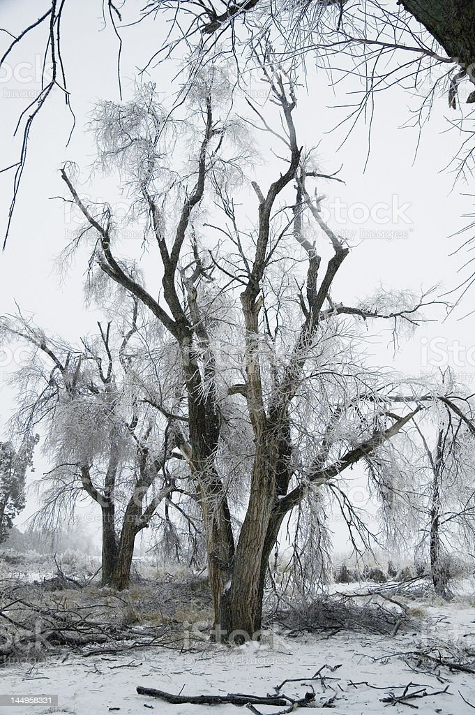 Ice-damaged Trees stock photo