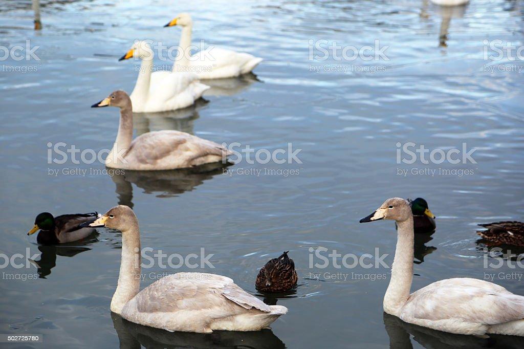 Iceland: Bewick's Swans and Mallard Ducks in the Tjörnin stock photo