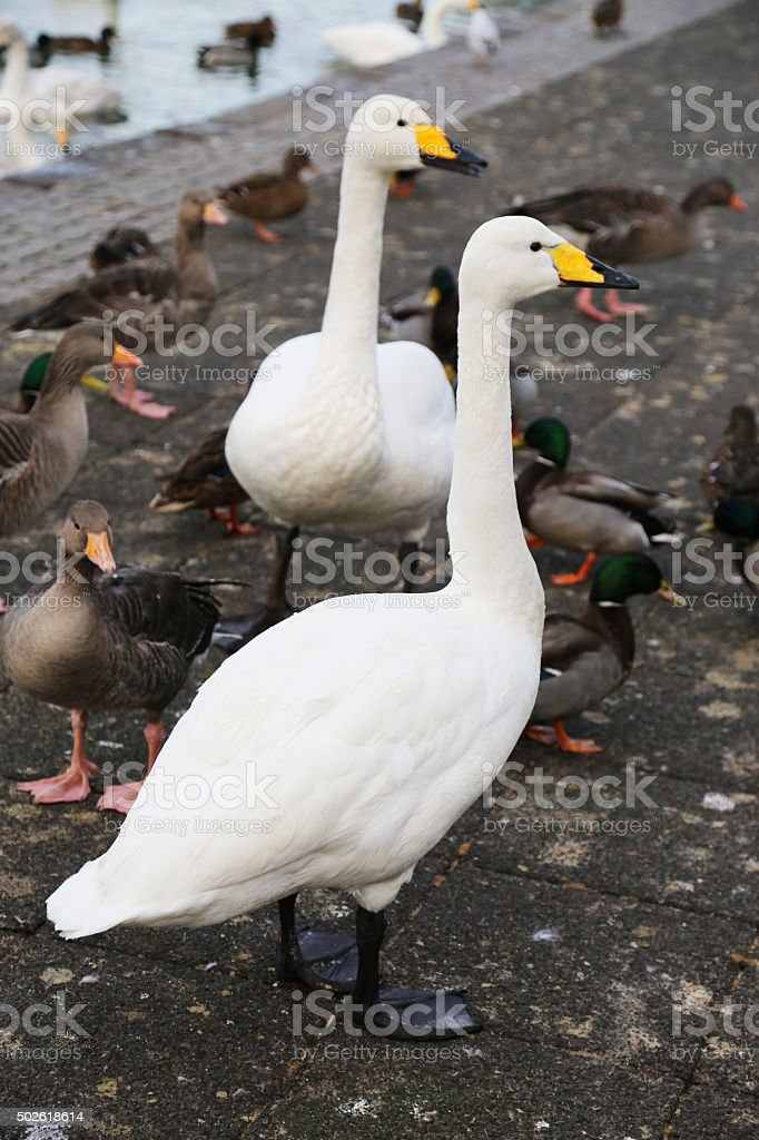 Iceland: Bewick's Swans by the Tjörnin stock photo