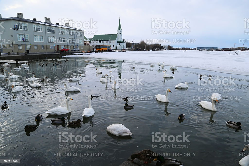 Iceland: Bewick's Swans on the Tjörnin stock photo
