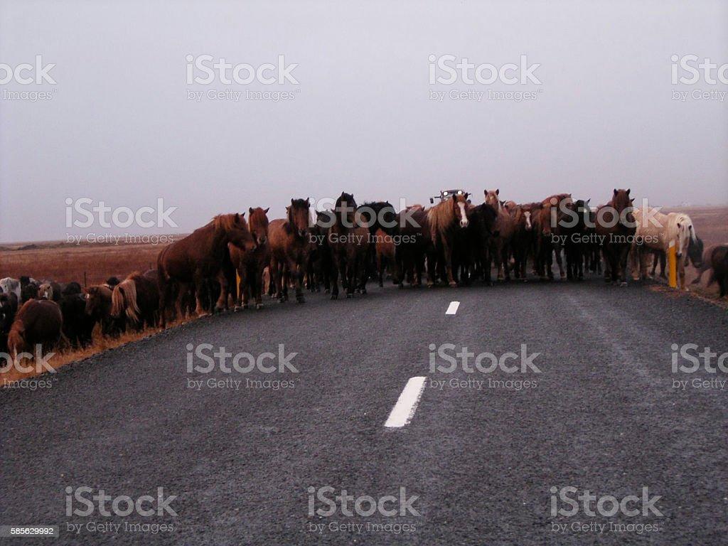 Iceland horeses stock photo