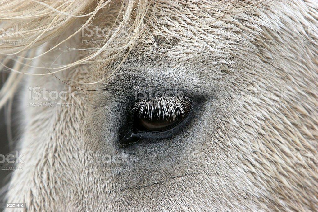 iceland horse, eye stock photo