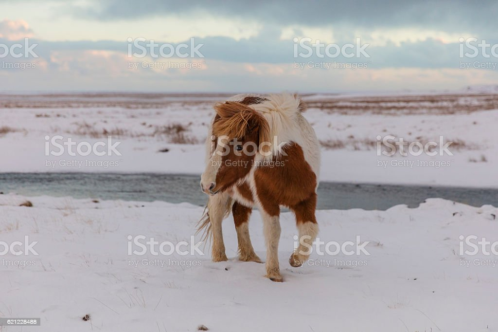 Iceland Horse on snow covered field stock photo