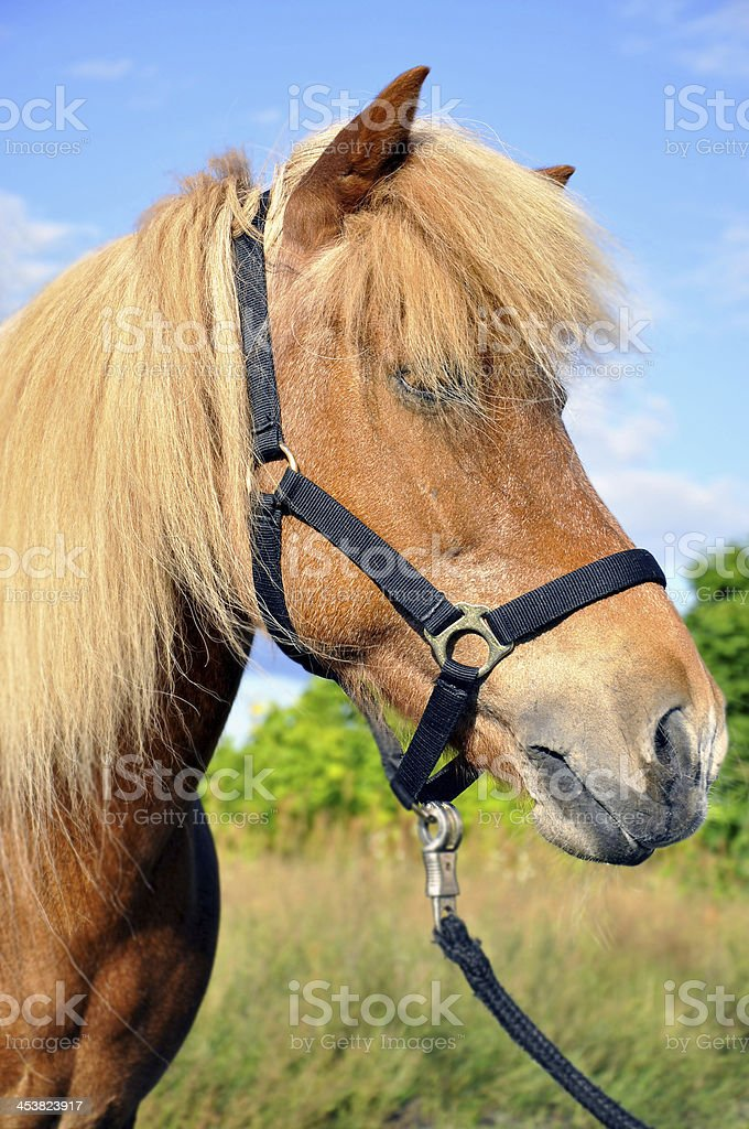 Iceland Horse royalty-free stock photo