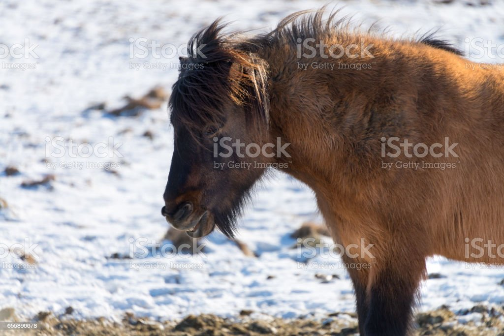Iceland horses in the snow, winter stock photo