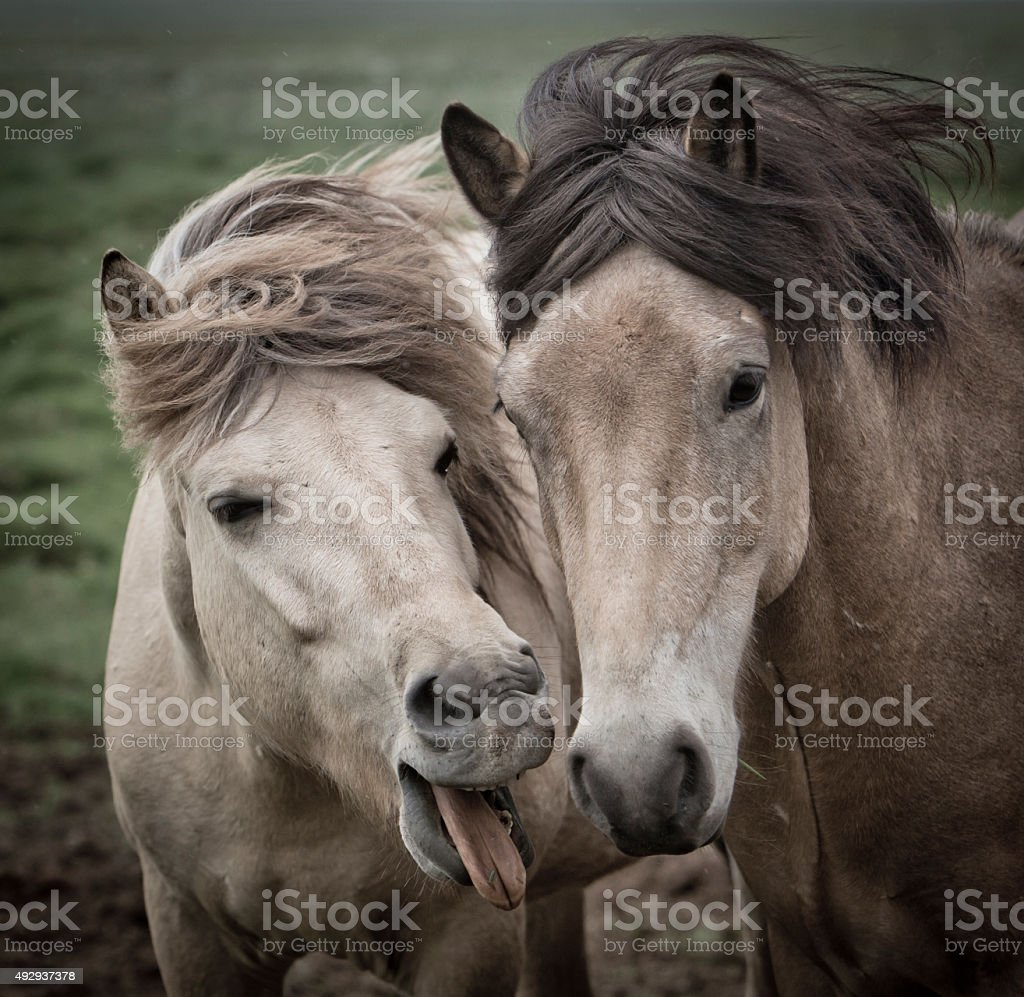 iceland horses on the fjord stock photo