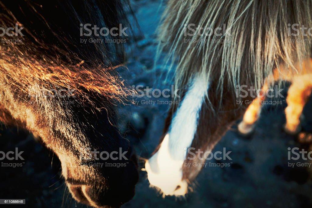 iceland horses stock photo