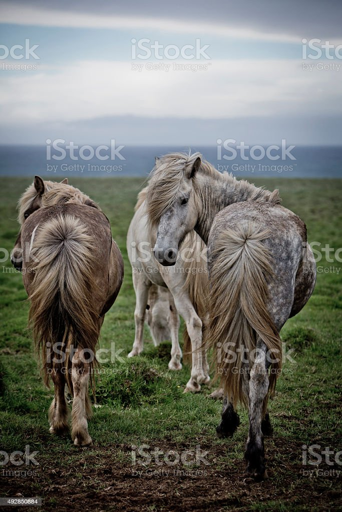 iceland horses , standing against the wind stock photo