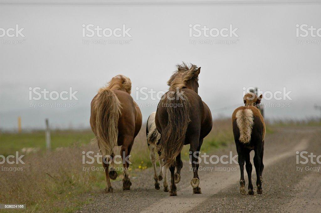 Iceland horses with nobody around stock photo