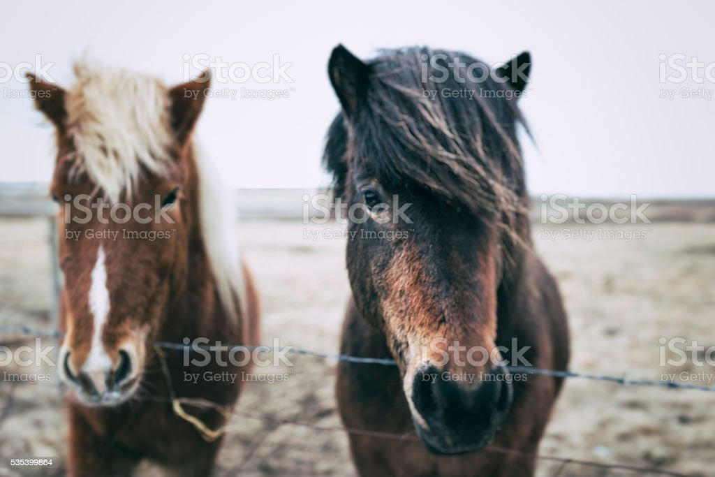 Iceland Ponies behind fence, Iceland stock photo