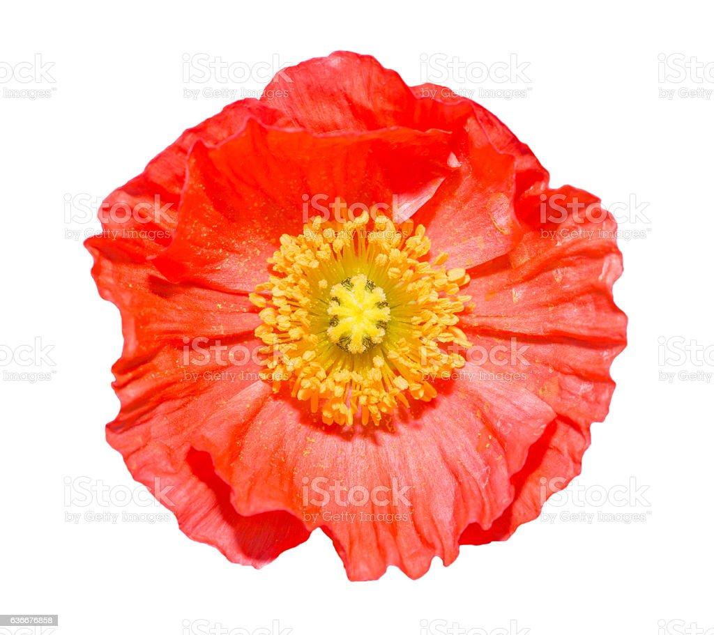 Iceland poppy flower(papaver nudicaule) isolated on white stock photo