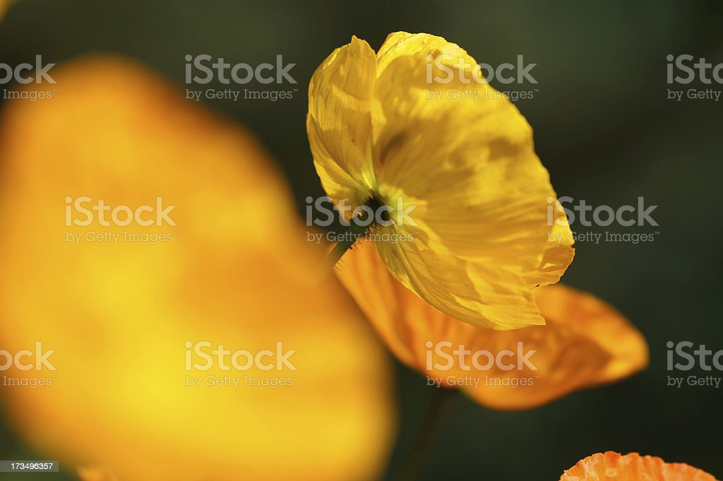 Iceland poppy in the counter-light royalty-free stock photo