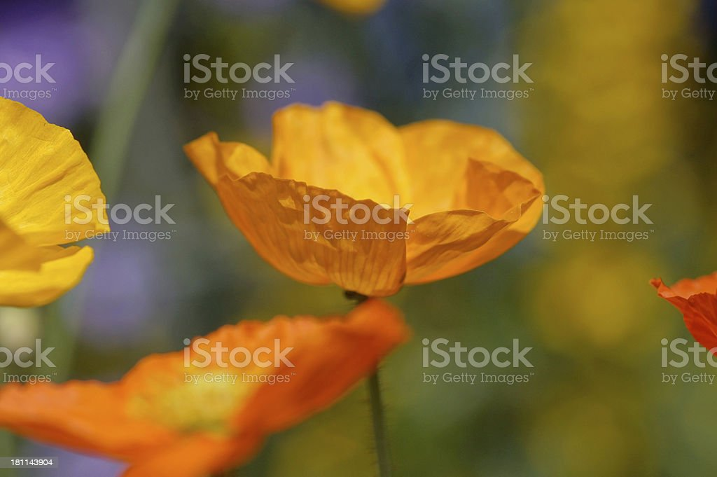 Iceland poppy royalty-free stock photo
