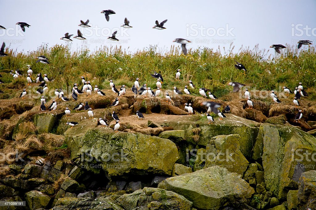 Iceland Puffins Birds royalty-free stock photo