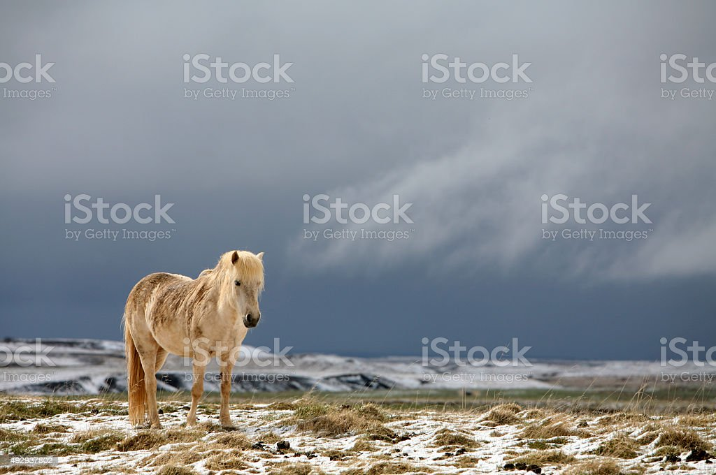 Icelandhorse stock photo