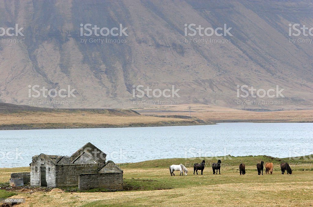 icelandhorses on the fjord stock photo