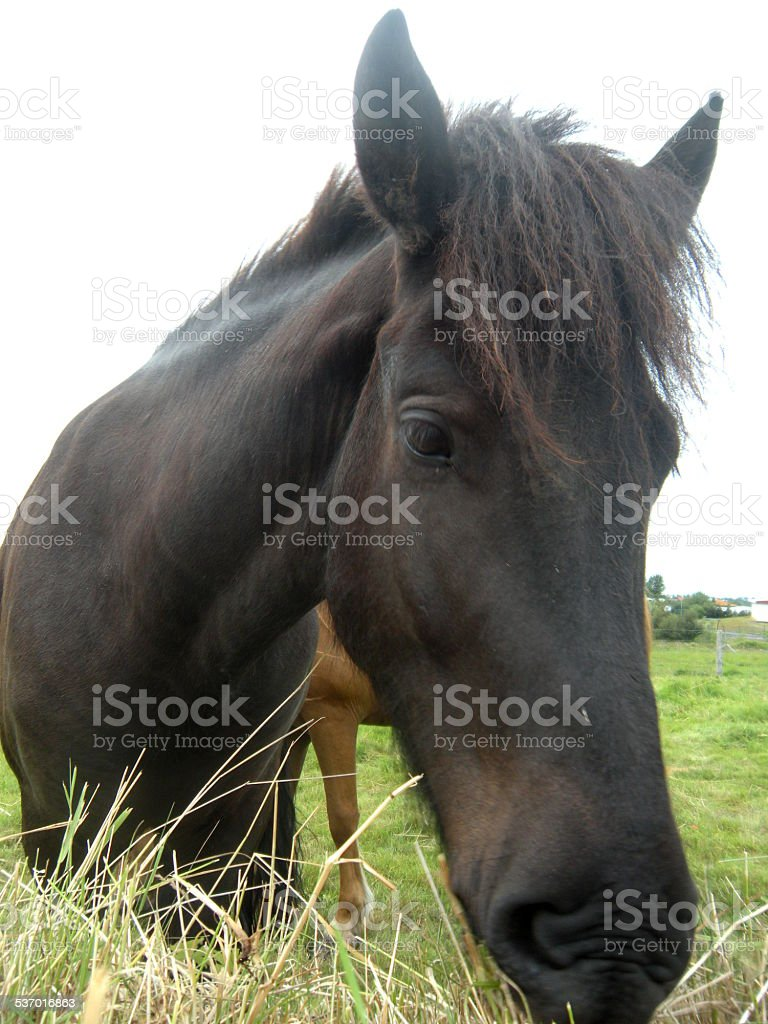 Icelandic black horse. stock photo