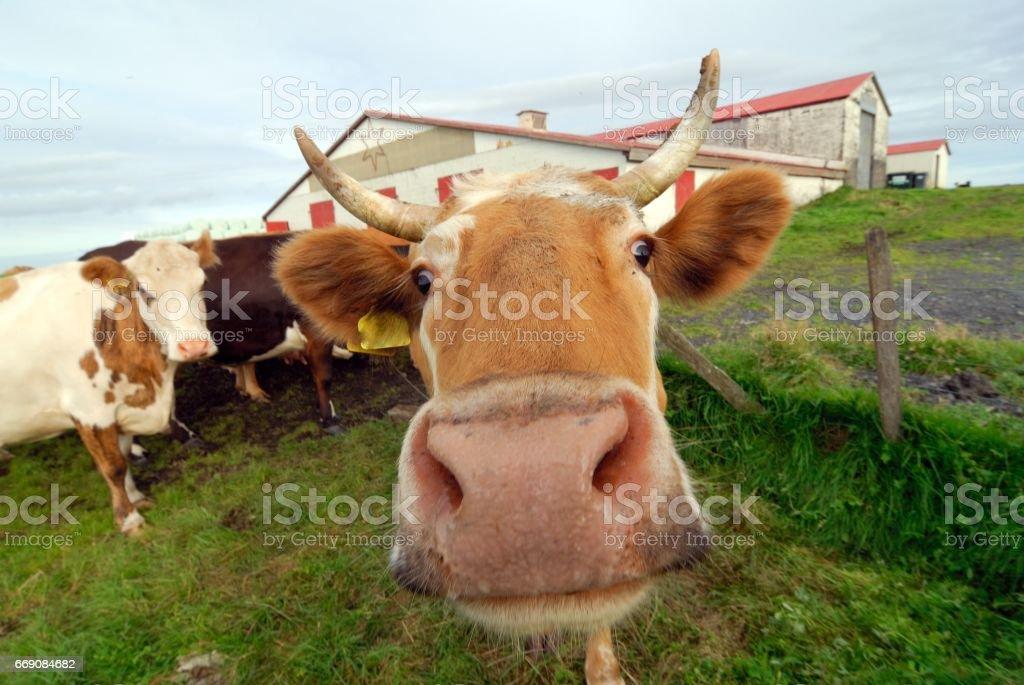 Icelandic cow mouth, Iceland stock photo