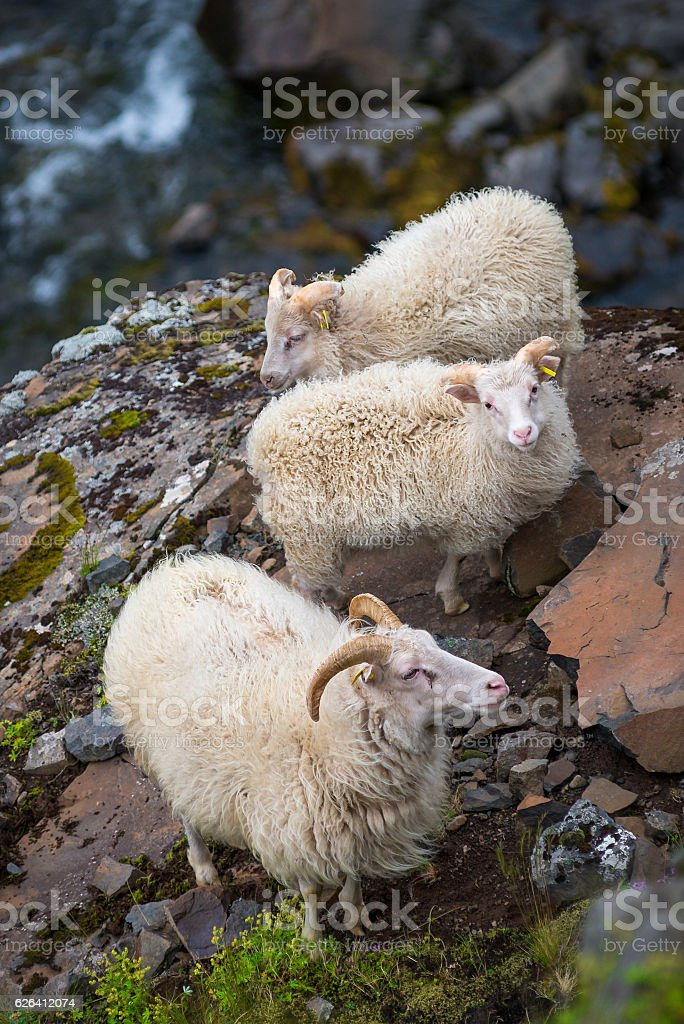 Icelandic goats on Akrafjall mountain in Iceland stock photo