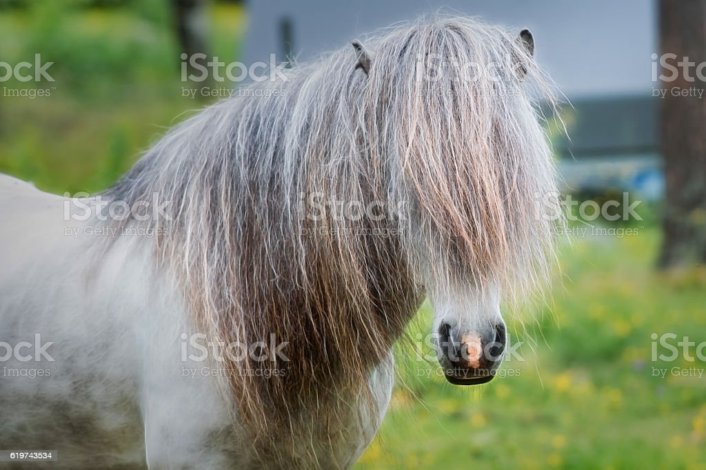Icelandic Horse Baltazar stock photo