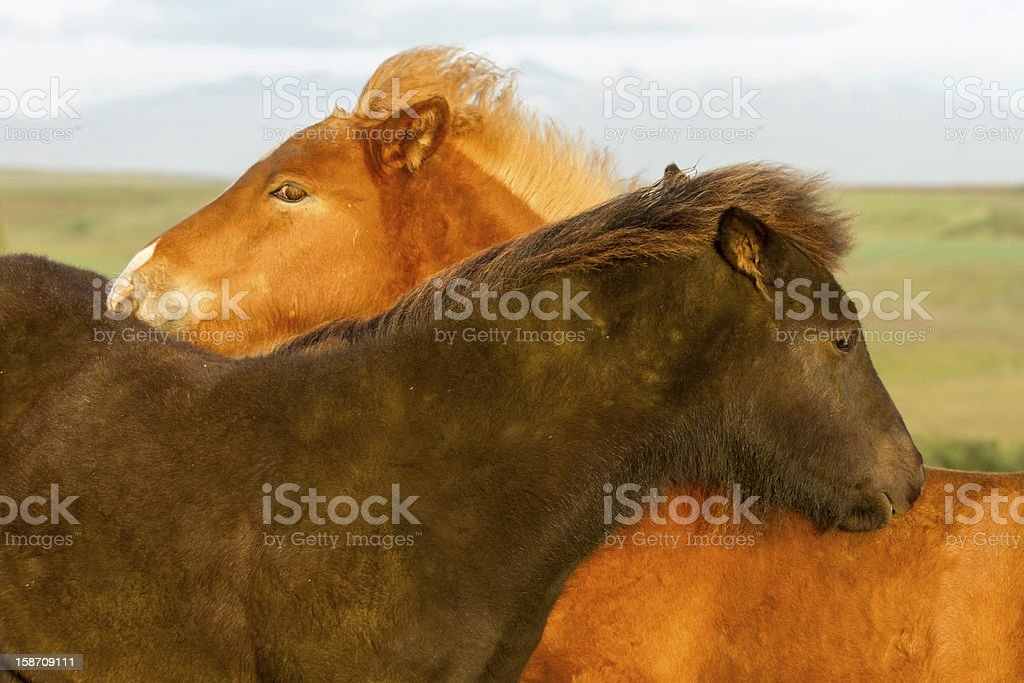 Icelandic Horse foals royalty-free stock photo