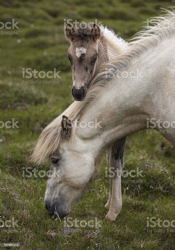Icelandic horse grazing and colt royalty-free stock photo