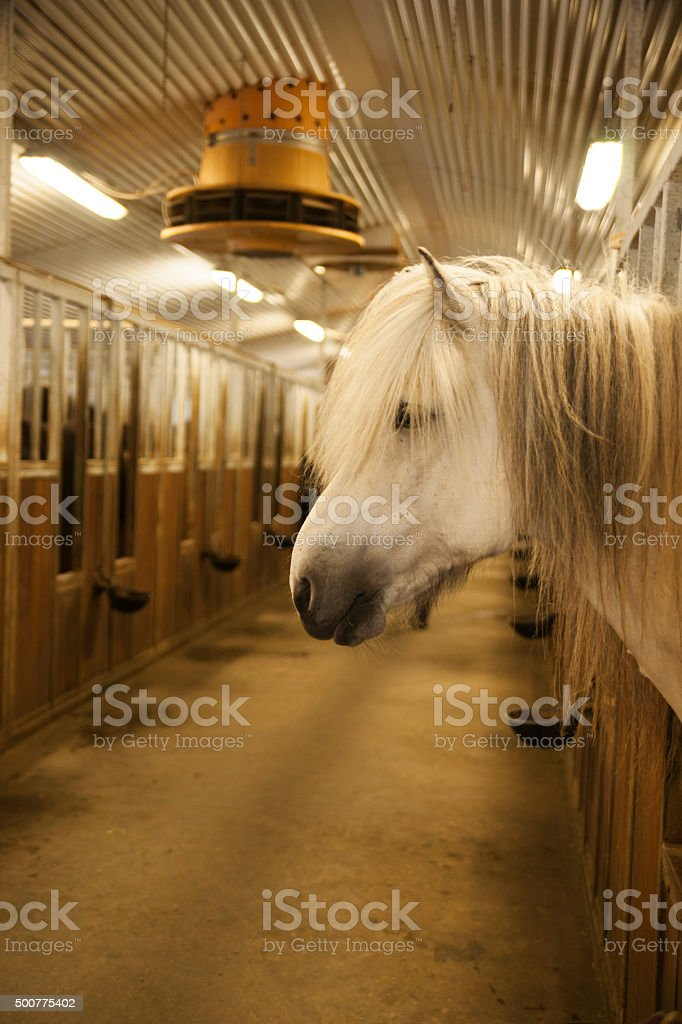 Icelandic horse in a barn stock photo
