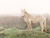 Icelandic Horse in the Mist