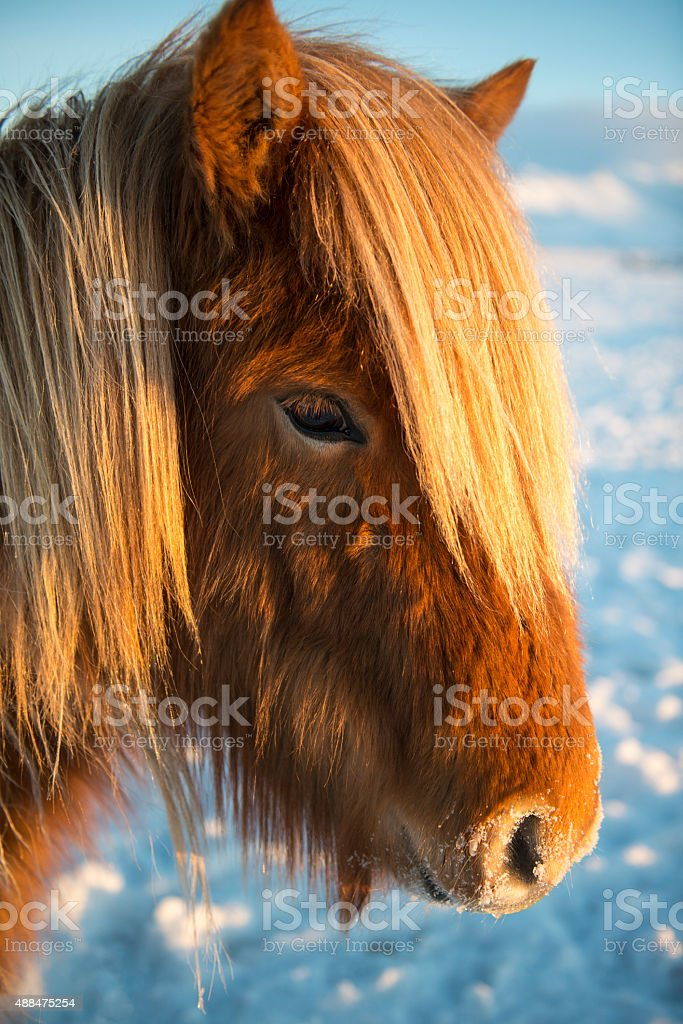 Icelandic horse on a sun day during the winter stock photo