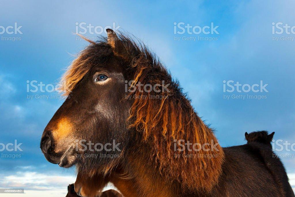 Icelandic Horse (Eguus cabballus) stock photo