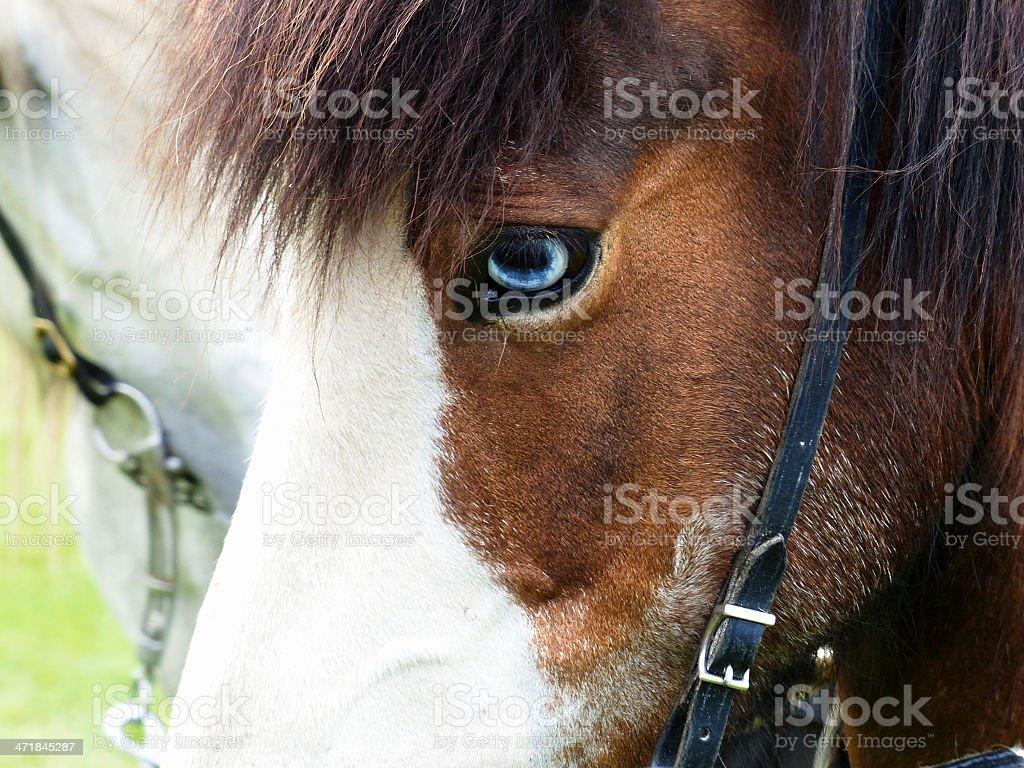 Icelandic horse royalty-free stock photo
