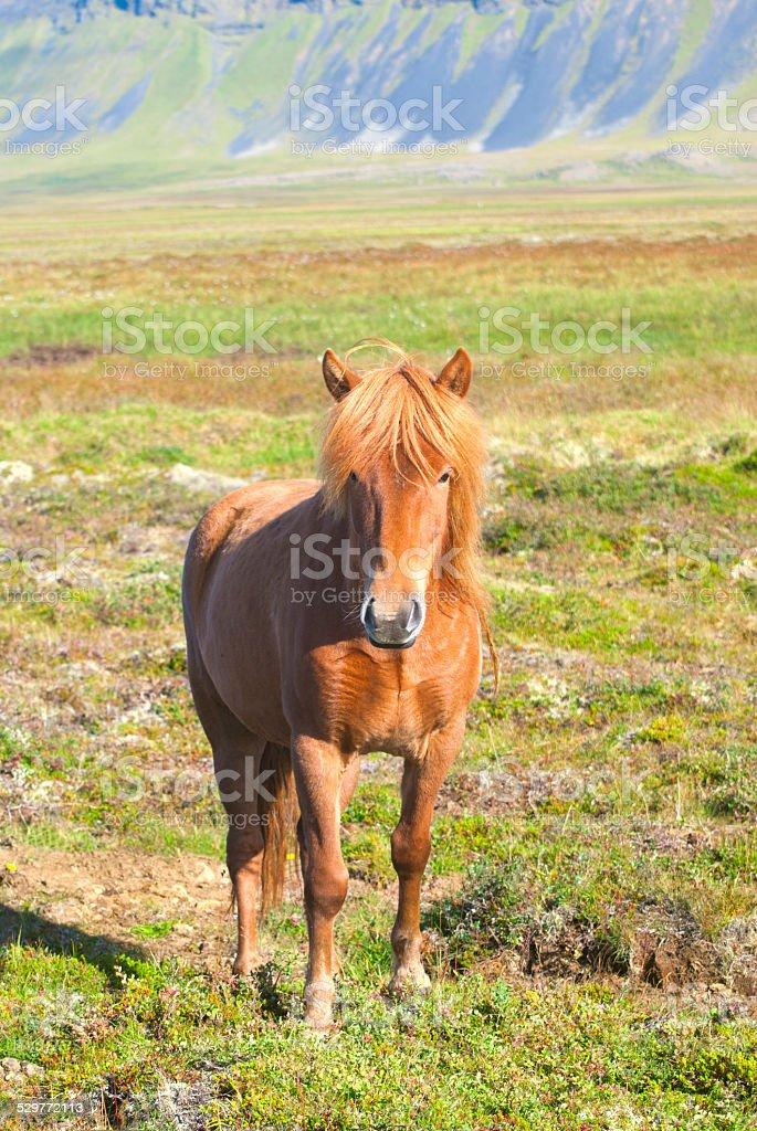 Icelandic Horse stock photo