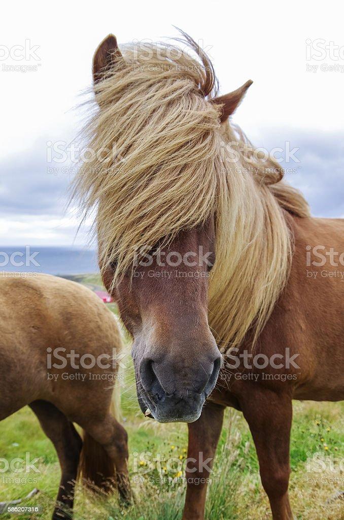 Icelandic horse with long mane close-up. Iceland stock photo