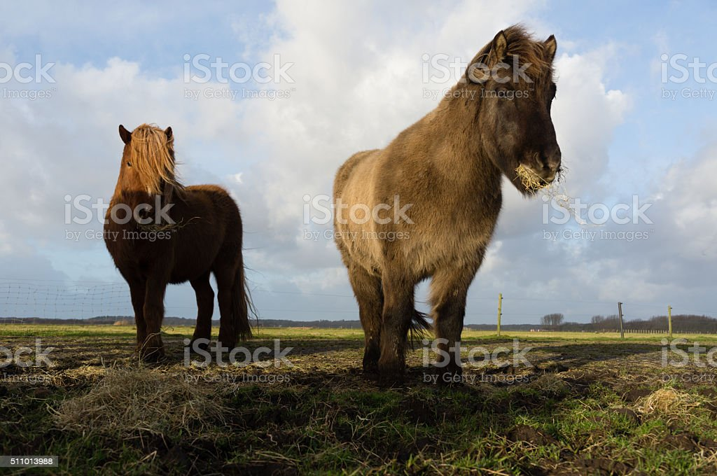 Icelandic horses feeding stock photo
