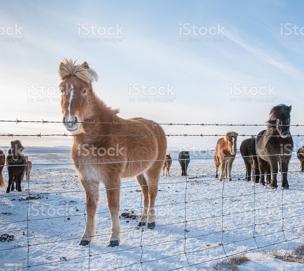 Icelandic Horses in the snow stock photo