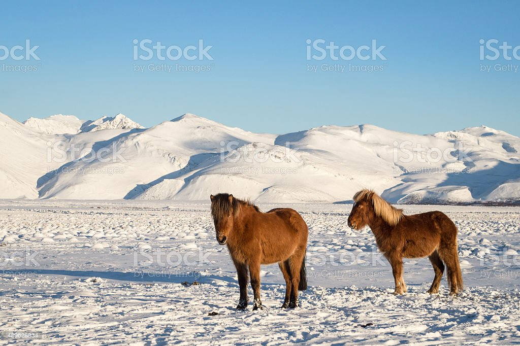 Icelandic horses in winter stock photo