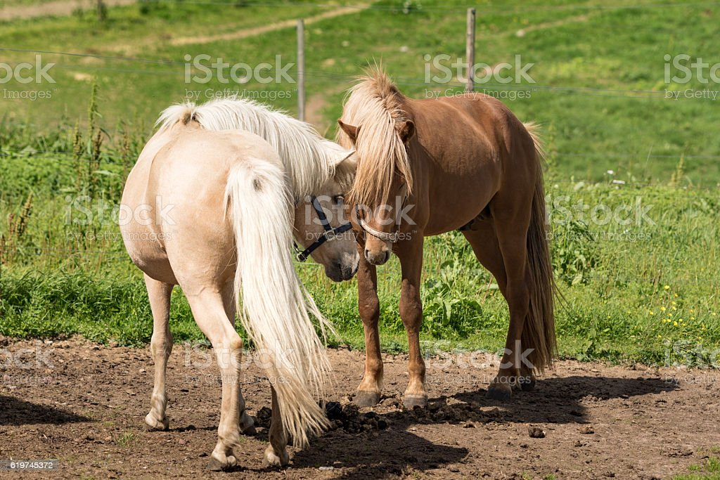 Icelandic horses making friends stock photo