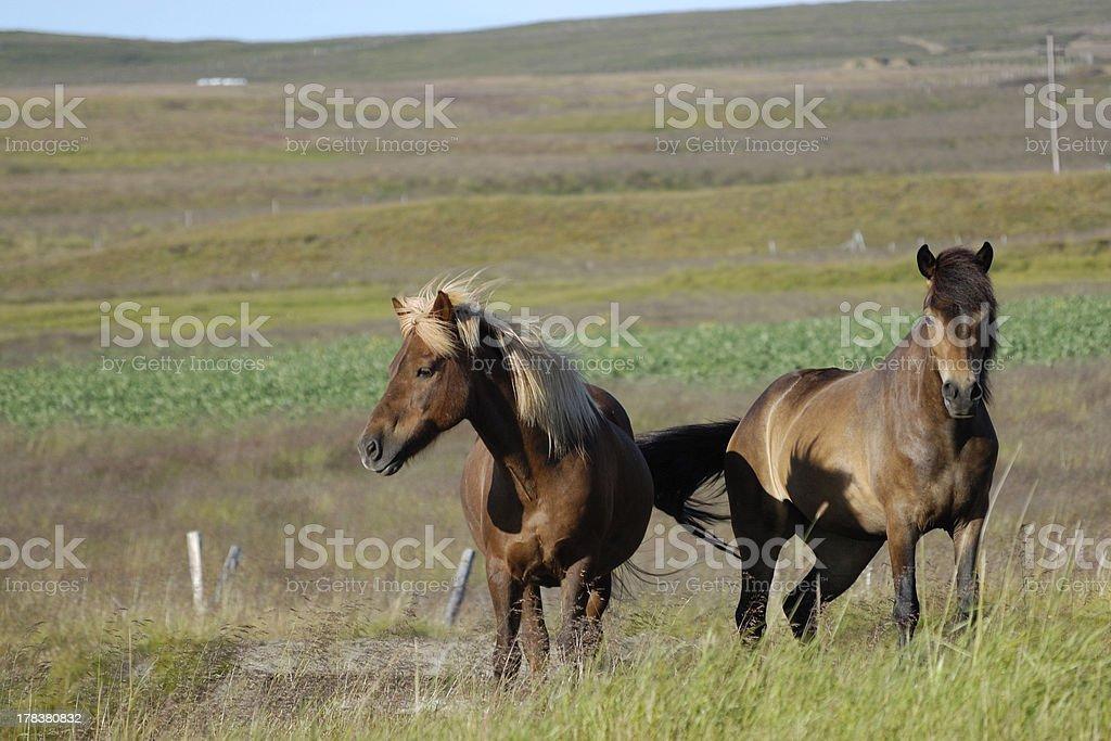Icelandic horses. royalty-free stock photo