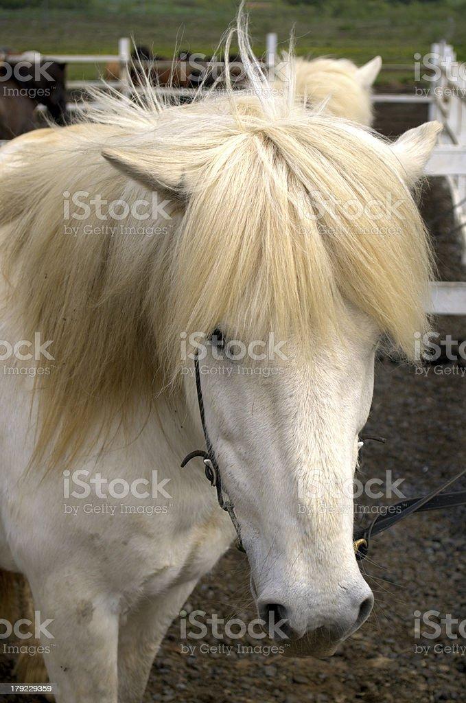 Icelandic horses royalty-free stock photo