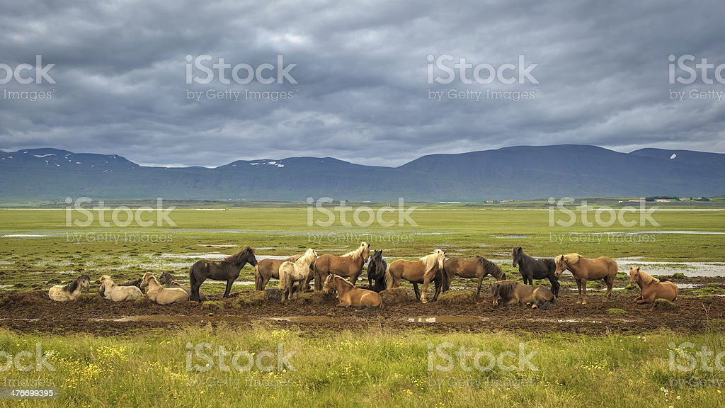 icelandic horses royalty-free stock photo