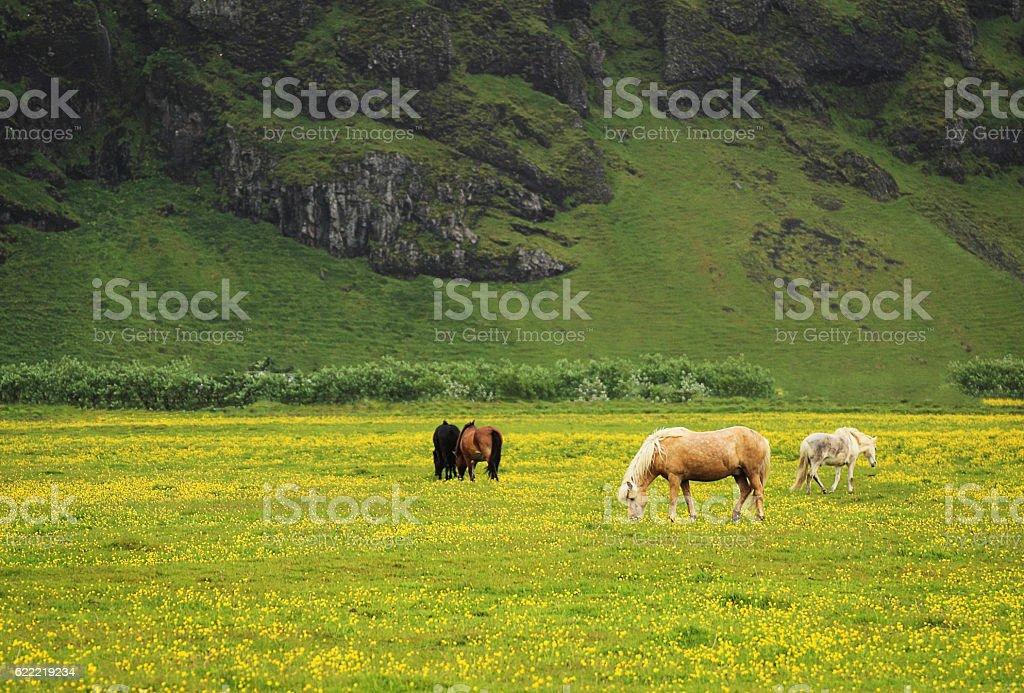 Icelandic horses stock photo