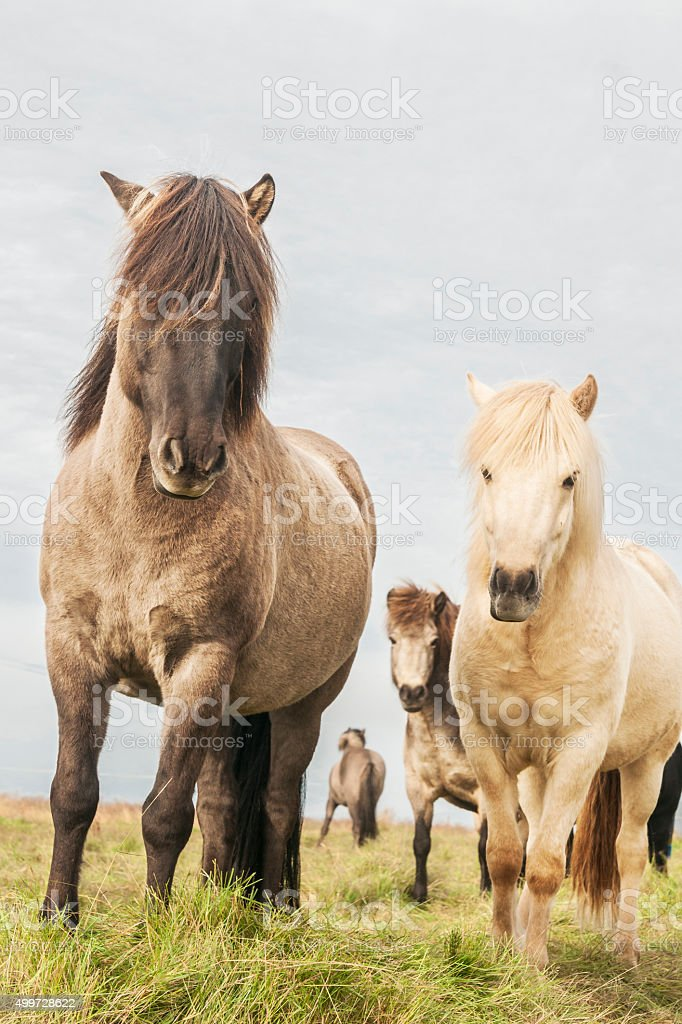 Icelandic horses roaming the countryside stock photo