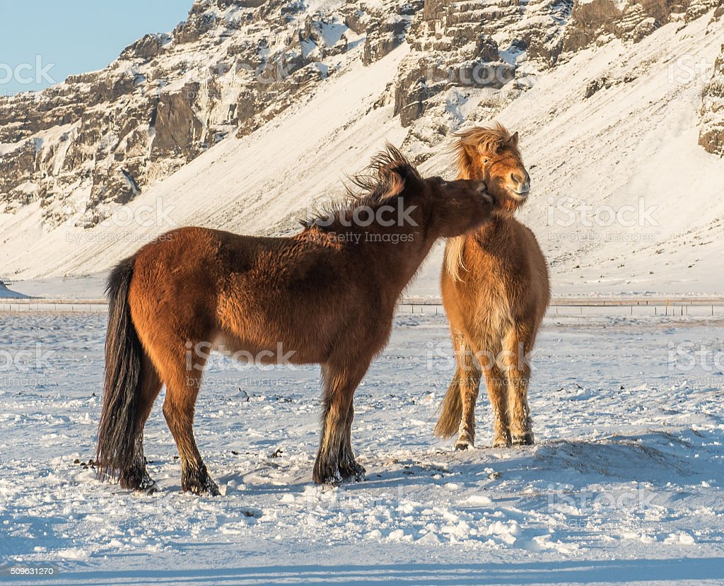 Icelandic horses showing affection stock photo