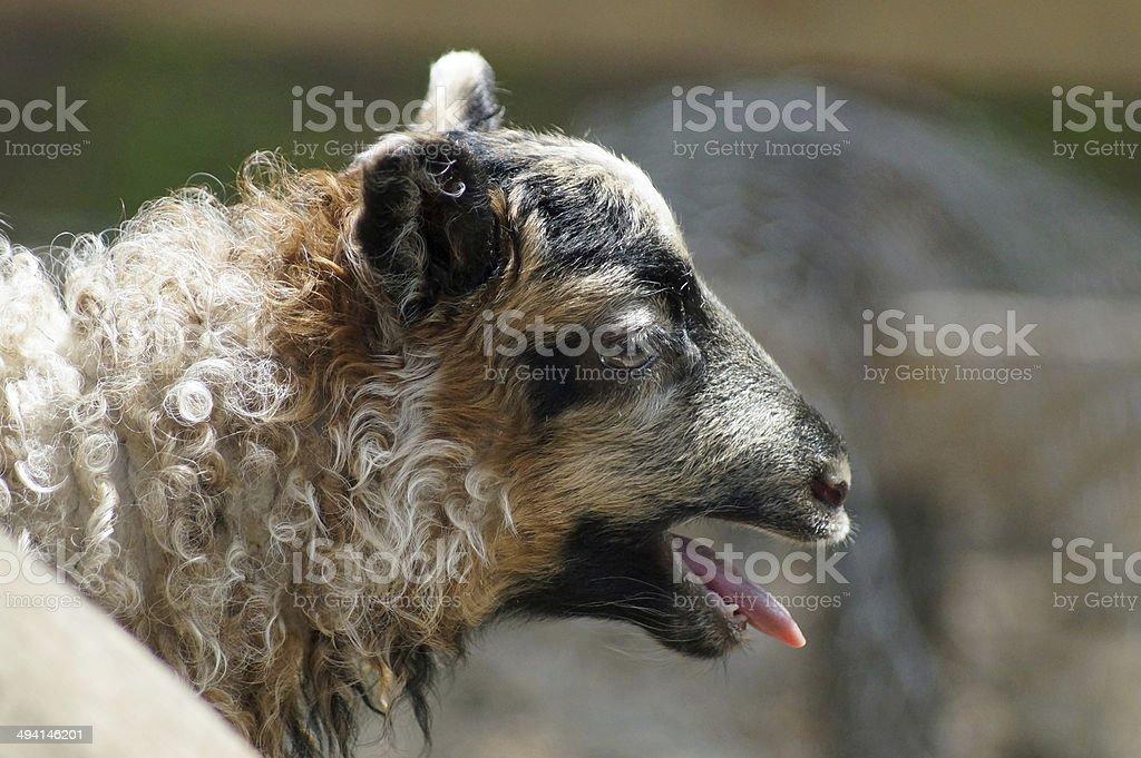 Icelandic lamb calling stock photo