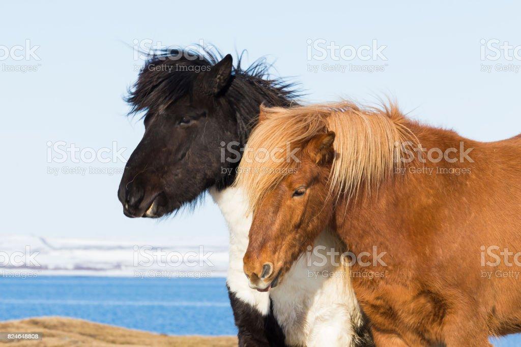 Icelandic pony farm animal stock photo