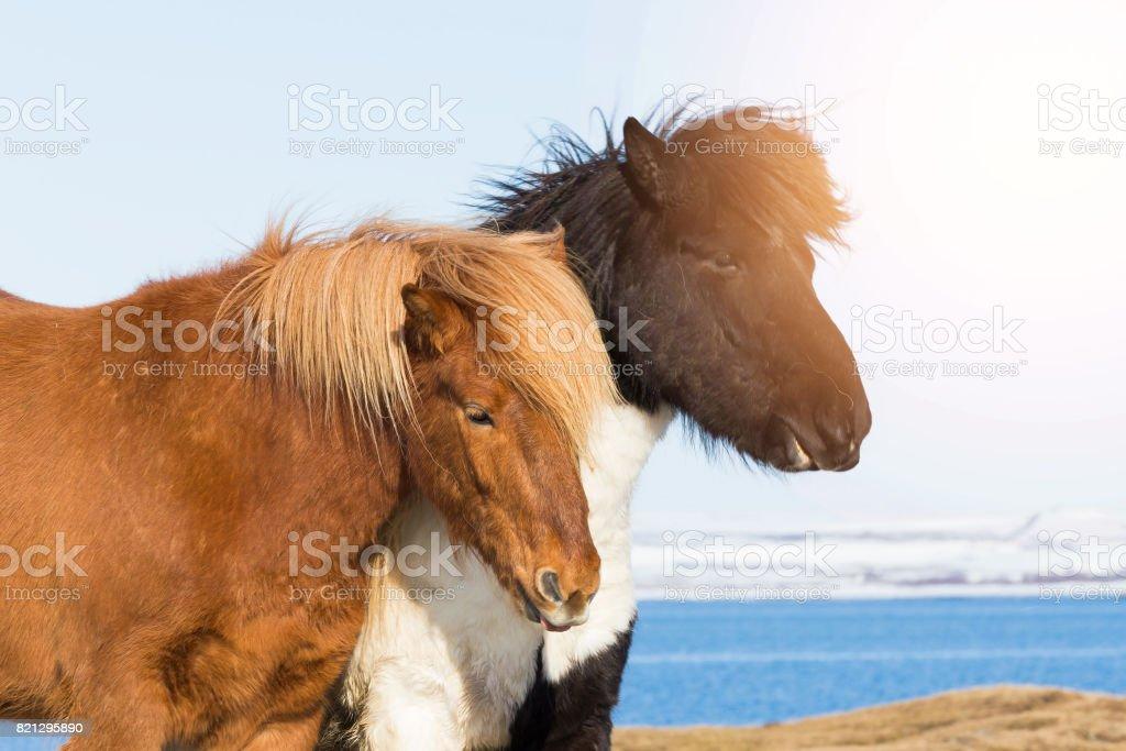 Icelandic pony, Iceland stock photo